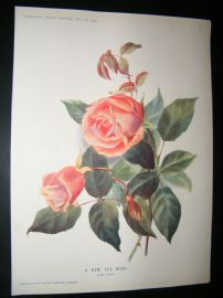 Amateur Gardening 1903 Botanical Print. A New Tea Rose